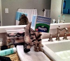 gato gracioso cara