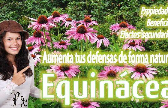 equinacea efectos remedios naturales plantas medicinales