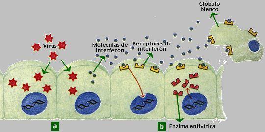 equinácea, mecanismo del interferón