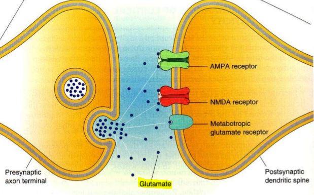 glutamato neurona