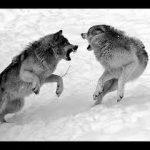 Grandes Documentales: El lobo