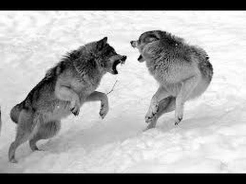 El lobo, una fiera nacida para sobrevivir