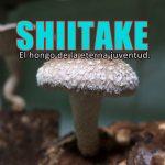 Shiitake, propiedades medicinales.
