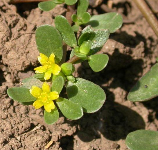 Verdolaga (portulaca oleracea)