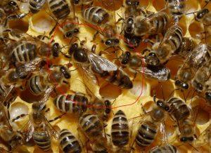 abeja reina