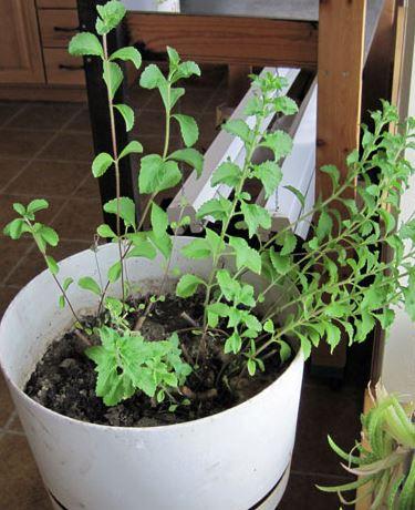 cultivas stevia en casa