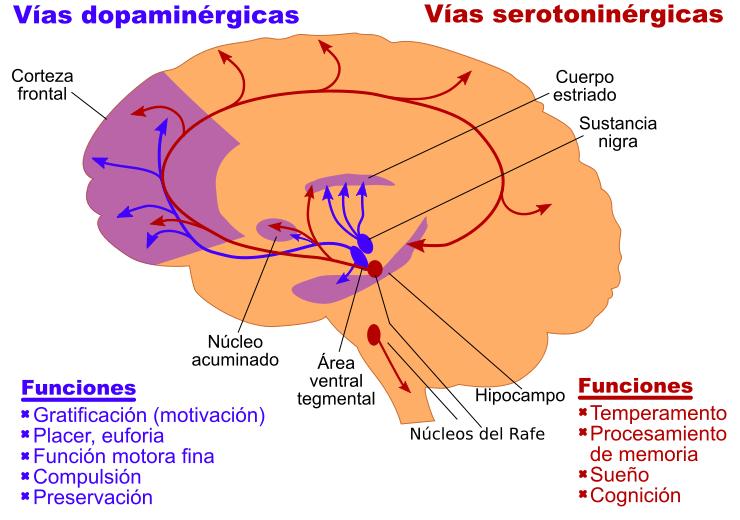 dopamina y serotonina y sus funciones cerebrales