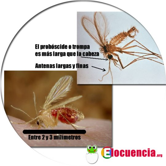 Flabmo (Phlebotominae) mosquito que transmite la Leishmaniasis