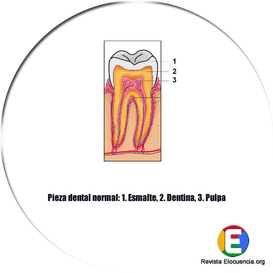 Partes de un diente o muela