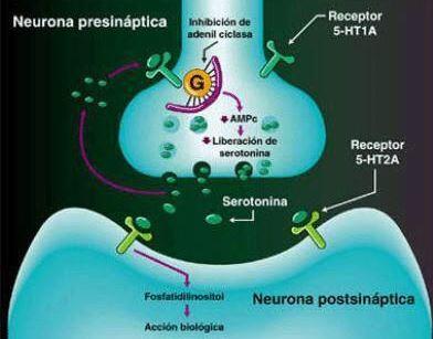 proceso neurona serotonina