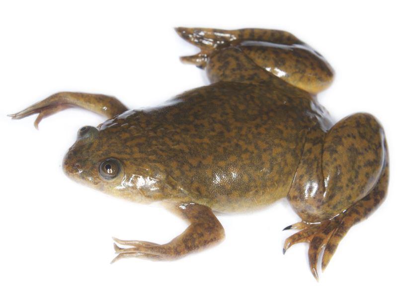 pruebas de embarazo caseras test de la rana