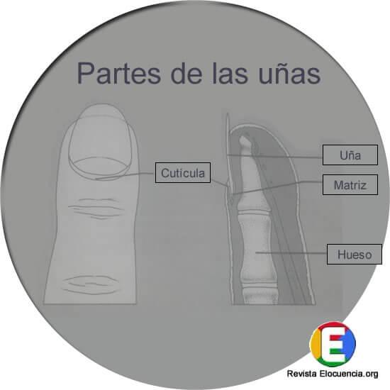 Partes de las uñas