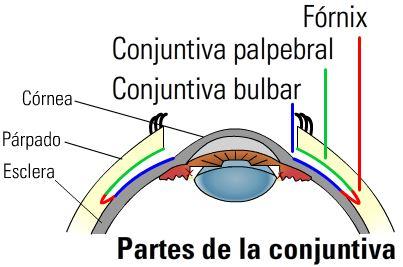 salud de los ojos Partes de la conjuntiva
