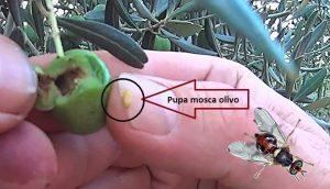 Pupa de la mosca del olivo.