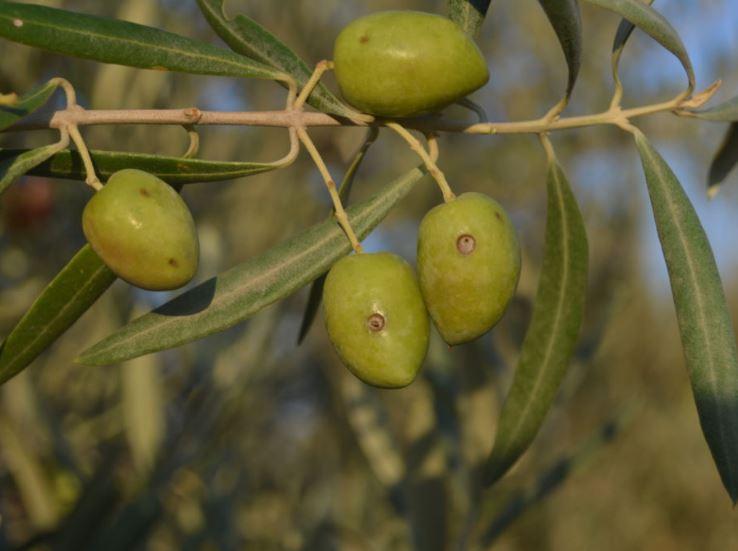 daños en la aceituna por la mosca del olivo