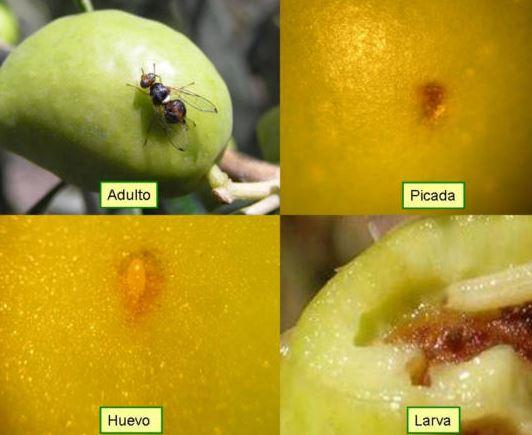 mermas de la mosca del olivo