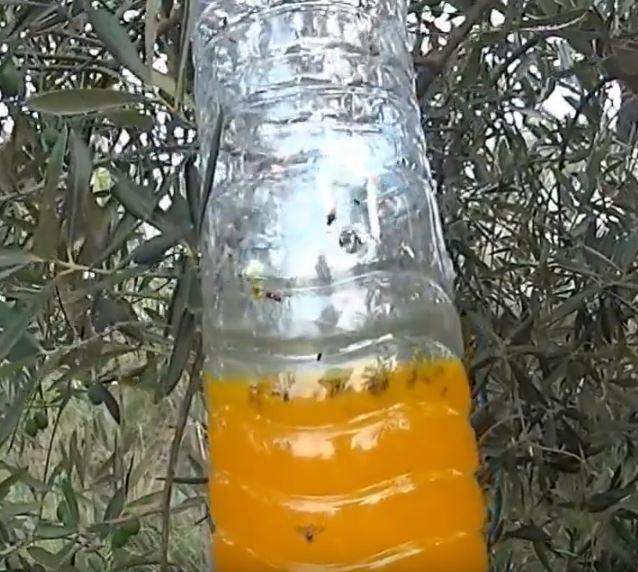 trampa para la mosca del olivo