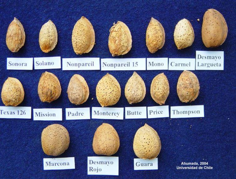 Algunas de las muchas variedades de almendras.