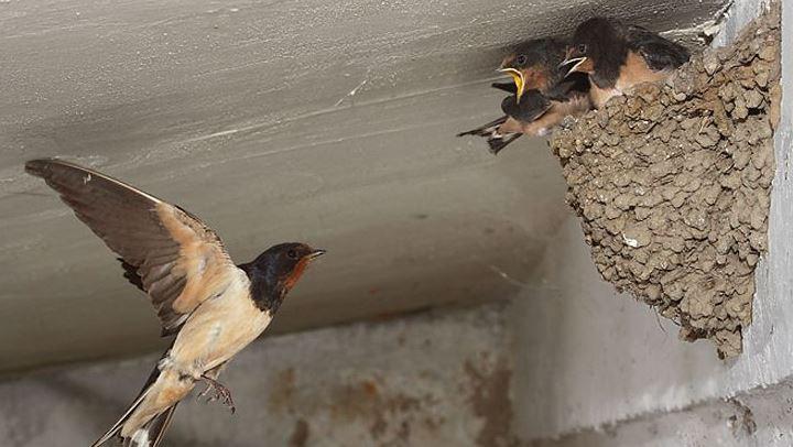 nidos de golondrinas natural