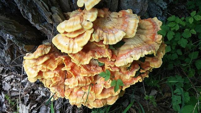 Ganoderma lucidum o reishi rojo que es, como se usa y beneficios.