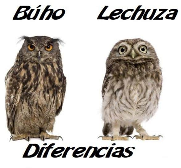 Diferencia entre buho y lechuza; Búho a la izquierda de la imagen y a la derecha la lechuza.