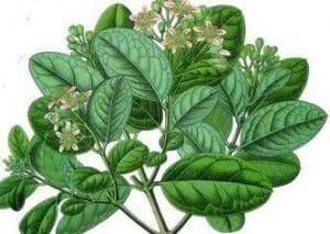 planta del boldo