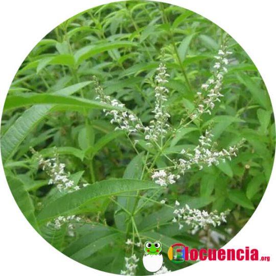 cedron planta