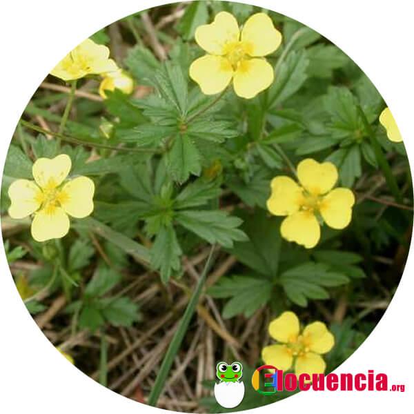 tormentilla-potentilla-erecta_1