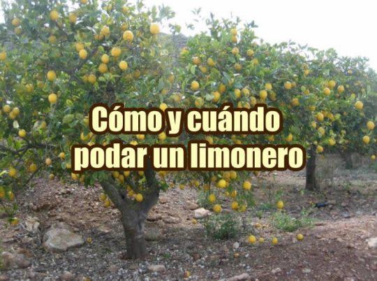 como podar un limonero y cuando portada