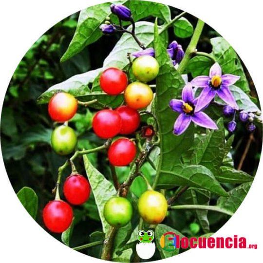 hojas frutos y flores de la dulcamara