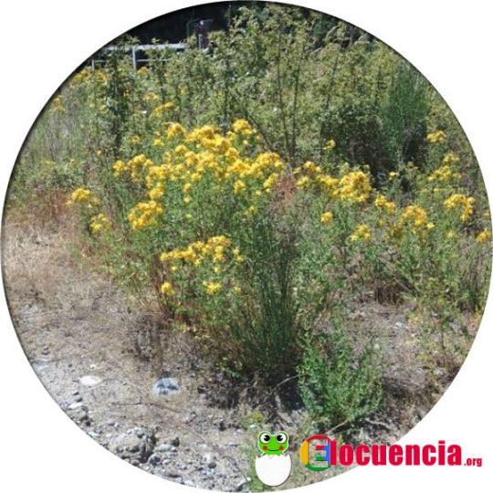 planta del hiperico o hierba de san juan ansiolitico natural
