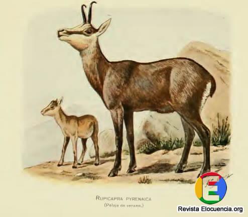 libro gratis mamíferos de la fauna ibérica - Rupicapra pyrenaica Bonaparte