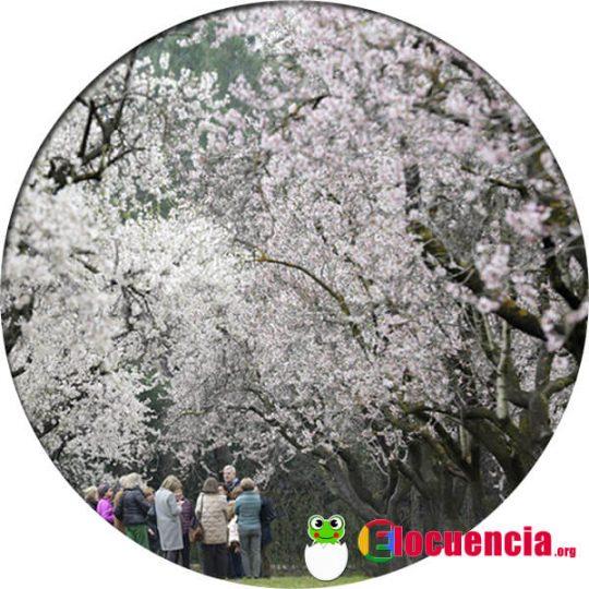 almendros en flor en la quinta de los molinos de Madrid